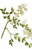Lawsonia inermis – Henna