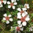 Leptospermum lanigerum – Woolly Tea Tree