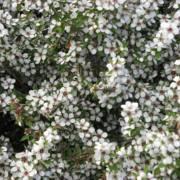 Details about  /Leptospermum grandiflorum Seeds Autumn Tea Tree 50 seeds ** Sold out **