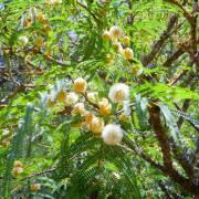 Leucaena leucocephala – White Leadtree