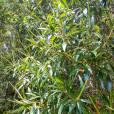 Leucopogon pancheri