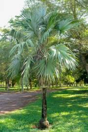 Leucothrinax morrisii – Brittle Thatch Palm