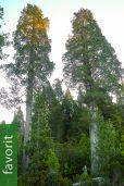 Libocedrus cupressoides – Patagonische Zypresse, Lahuen, NUR EU
