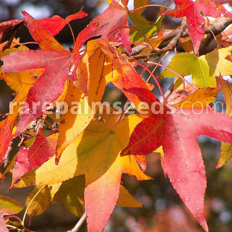 Liquidambar Styraciflua American Sweetgum Buy Seeds At Rarepalmseeds Com