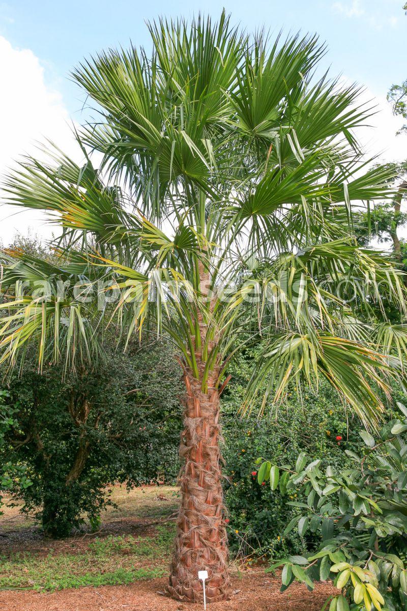 Australische Schirmpalme Livistona Australis 10 X Palmen Samen