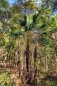 Livistona drudei – Northern Weeping Fan Palm