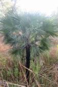 Livistona humilis – Sand Palm