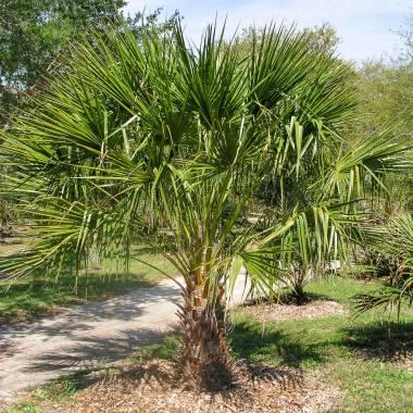 Livistona nitida – Carnarvon Palm