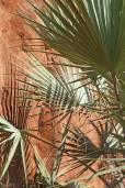 Livistona victoriae – Victoria River Fan Palm