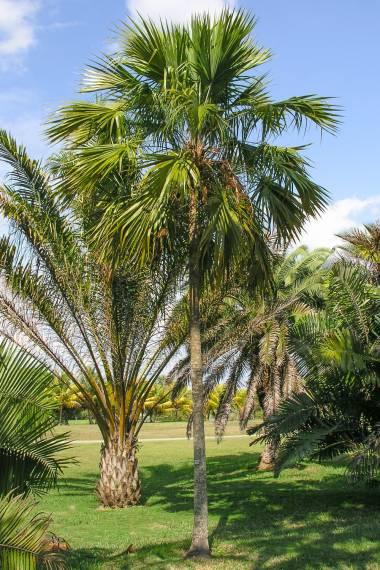 Livistona woodfordii – Nggela Fountain Palm
