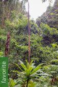 Lobelia bambuseti – Bamboo Forest Giant Lobelia
