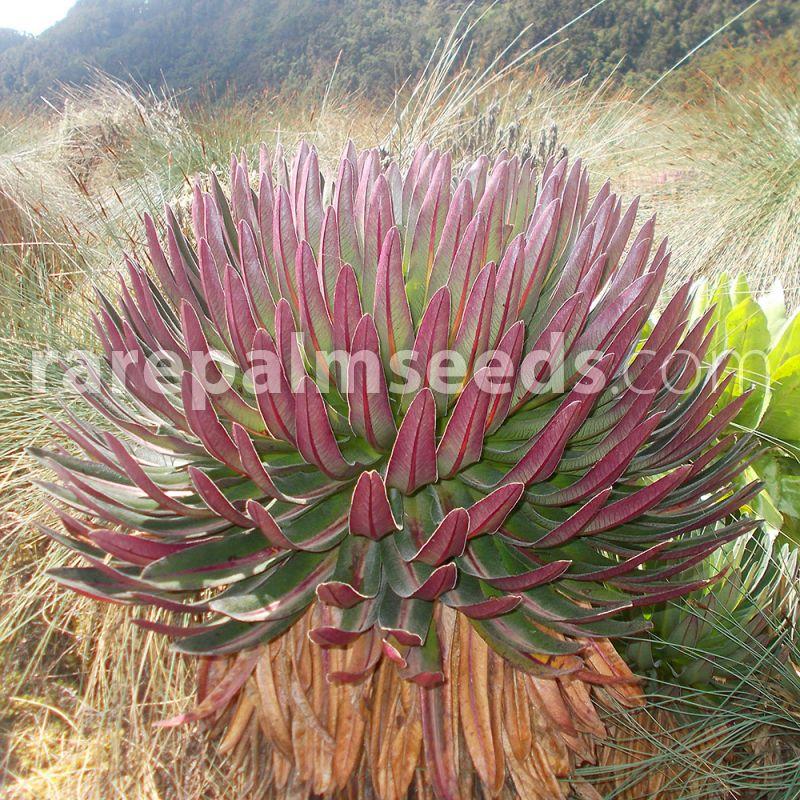Lobelia Bequaertii Giant Lobelia Buy Seeds At Rarepalmseedscom