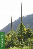 Lobelia giberroa – Giant Lobelia