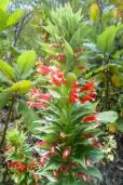 Lobelia laxiflora subsp. laxiflora