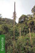 Lobelia stuhlmannii – Stuhlmann's Giant Lobelia