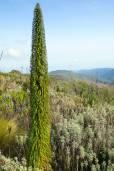 Lobelia telekii 'Mt. Elgon' – Giant Lobelia