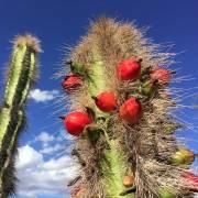 Lophocereus schottii – Totempole Cactus