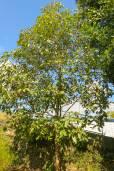 Lophostemon confertus – Brisbane Box