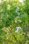 Loxostylis alata – Wild Pepper Tree, Tarwood