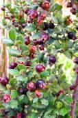 Luma apiculata – Arrayan, Chilean Myrtle