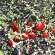 Lycium brevipes – Baja Desert Thorn