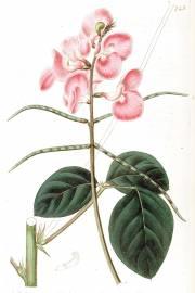Macroptilium lathyroides