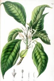 Magnolia x alba – White Champaca