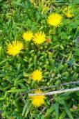 Malephora crocea – Coppery Ice Plant