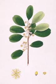 Manilkara hexandra