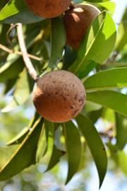 Manilkara zapota – Breiapfelbaum