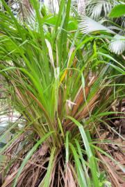 Mapania floribunda