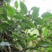 Maranta arundinacea – Cica, Papatla