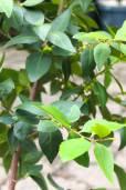 Maytenus acuminata – Silky Bark