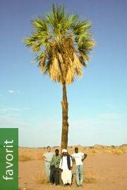 Medemia argun – Nubische Wüstenpalme
