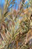 Melaleuca formosa