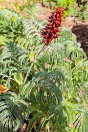 Melianthus major – Grosser Honigstrauch