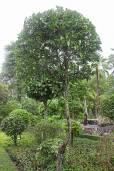 Melodorum fruticosum – White Cheesewood