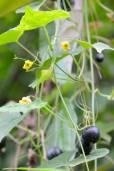 Melothria pendula – Guadeloupe Cucumber