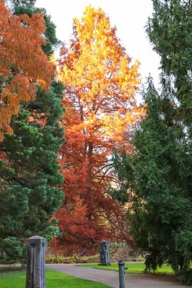 Metasequoia glyptostroboides – Dawn Redwood