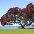 Metrosideros excelsa – Pohutukawa, New Zealand Christmas Tree