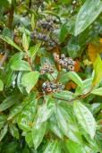 Miconia crocea