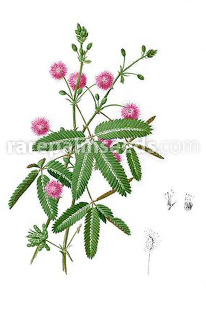 Mimosa pudica – Sensitive Plant – Buy seeds at rarepalmseeds com
