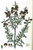 Mirbelia speciosa subsp. ringrosei – Purple Mirbelia