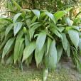 Curculigo latifolia var. latifolia