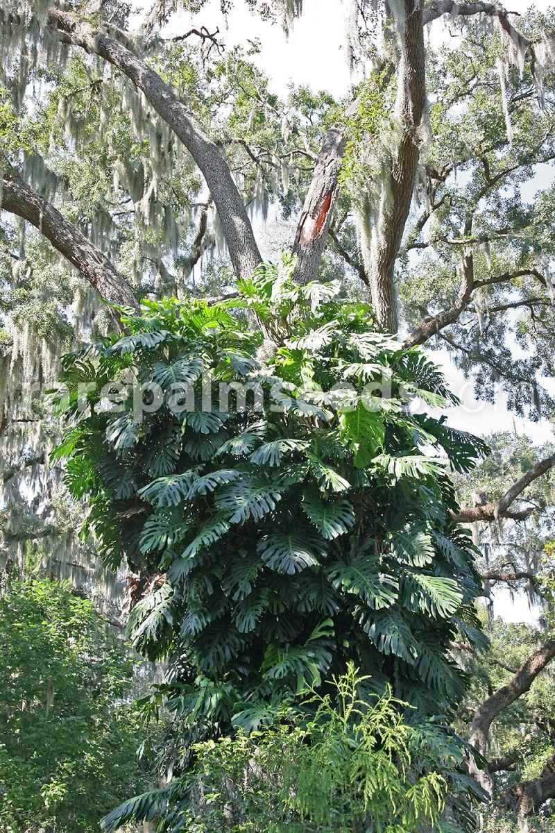 Monstera deliciosa – Buy seeds at rarepalmseeds com
