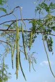 Moringa oleifera – Drumstick Tree, Horseradish Tree