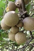 Morisonia americana – Ratapple, Small Mabolo