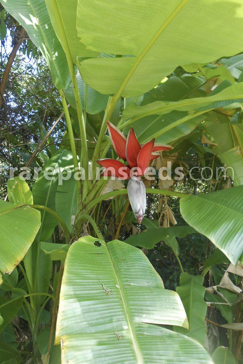 Musa Acuminata Subsp Acuminata Dwarf Buy Seeds At Rarepalmseedscom
