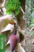 Musa acuminata subsp. acuminata