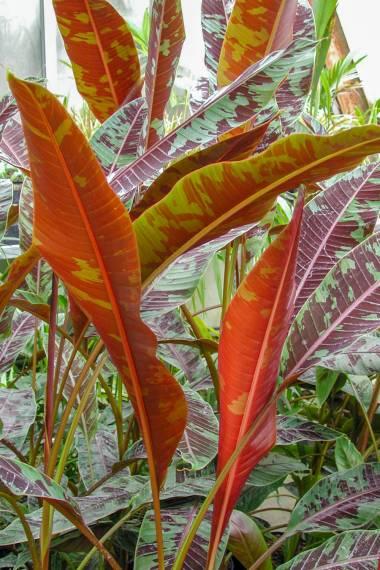 Musa acuminata var. sumatrana – Christmas Banana